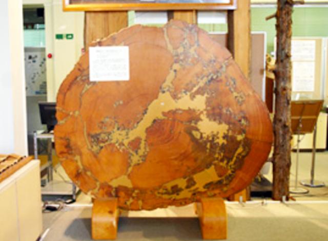 P3 3 名古屋大学博物館所蔵の「木曽の大ヒノキ」 - 名古屋大<br>「大杉の年輪」から<br>気象災害史研究